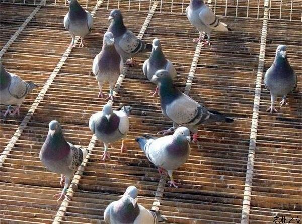 鸽子饲养方法