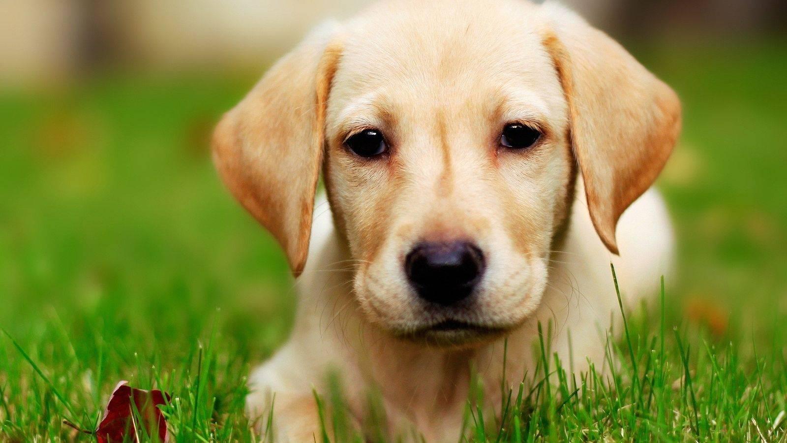 拉布拉多犬有哪些特征_拉布拉多的特点  小拉布拉多 拉布拉多 拉布拉多犬 拉布拉多介绍 第2张
