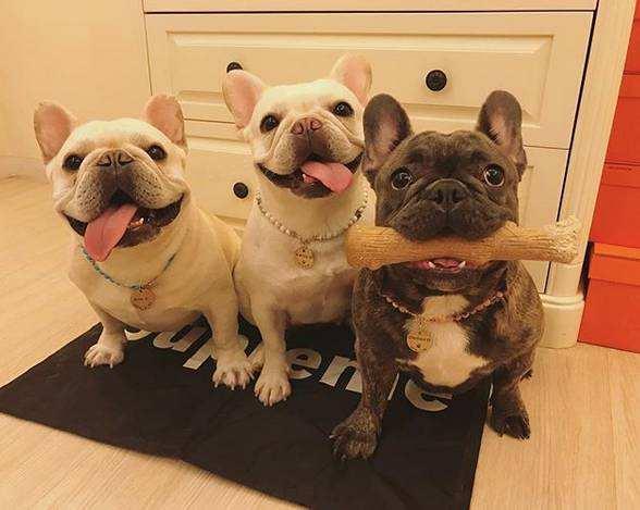 小型宠物狗的种类