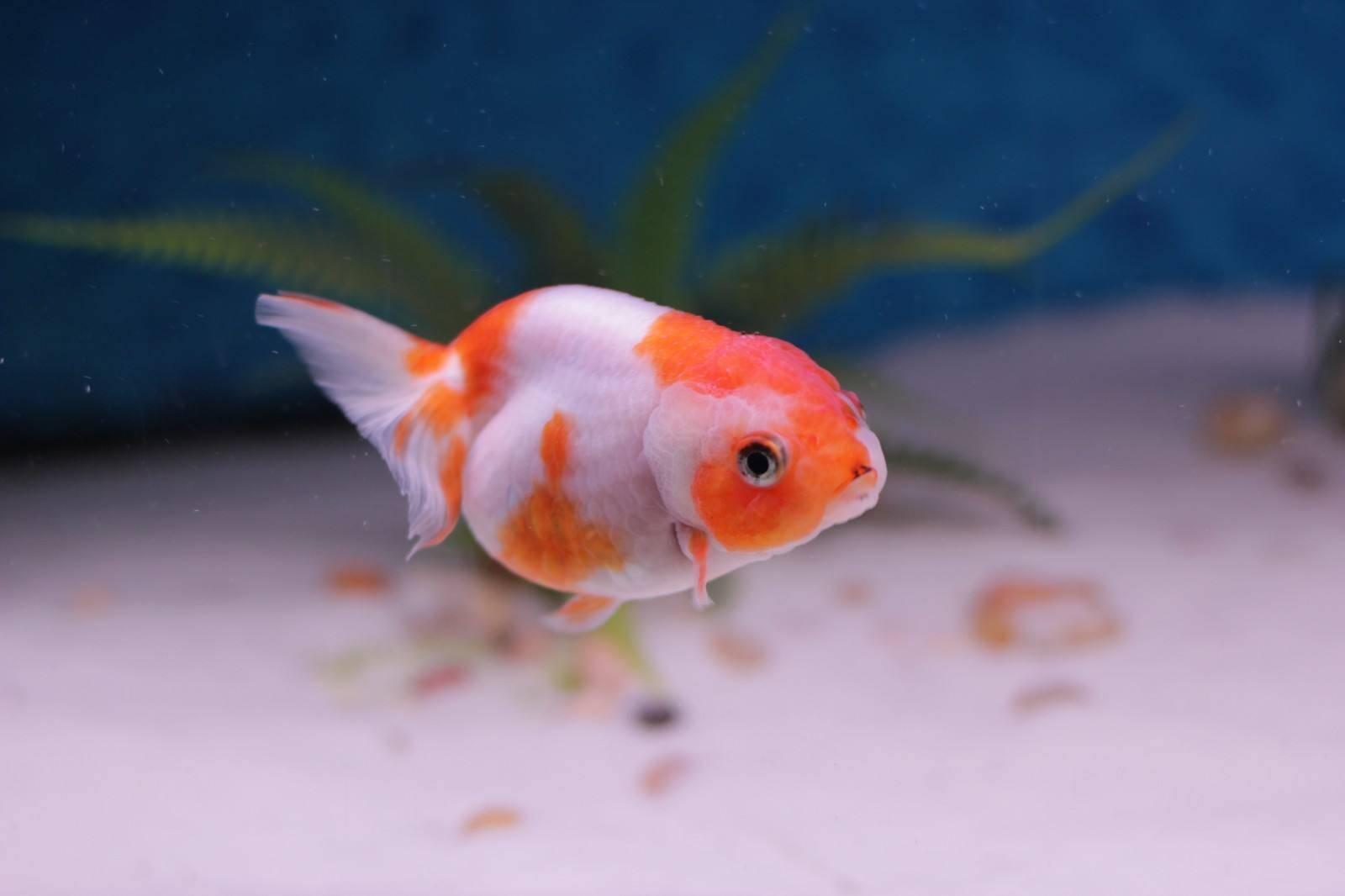 鱼缸里有白色线虫