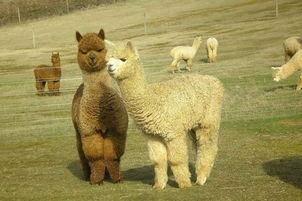 羊驼为什么叫草泥马